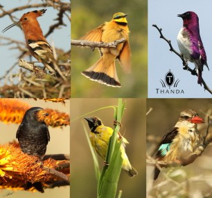 20121109 - Thanda Birds - SIG - SQ