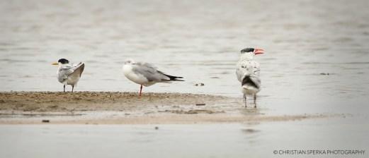 Swift Tern, Grey-headed Gull, Caspian Turn
