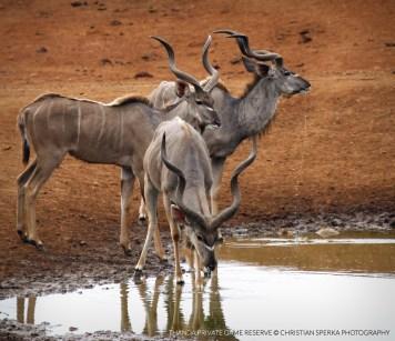 Three Kudu bulls