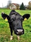 Another Cow Portrait