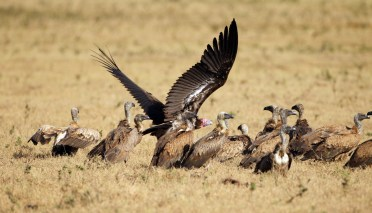 A Lappet Faced Vulture taking off in midst of a group of White-backed Vultures