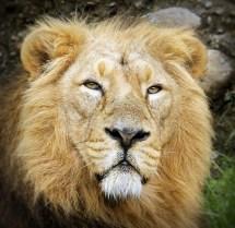 Male Indian Lion @ Zurich Zoo