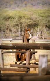 Prinz - Pakamisa's stallion - longing for the ladies ...