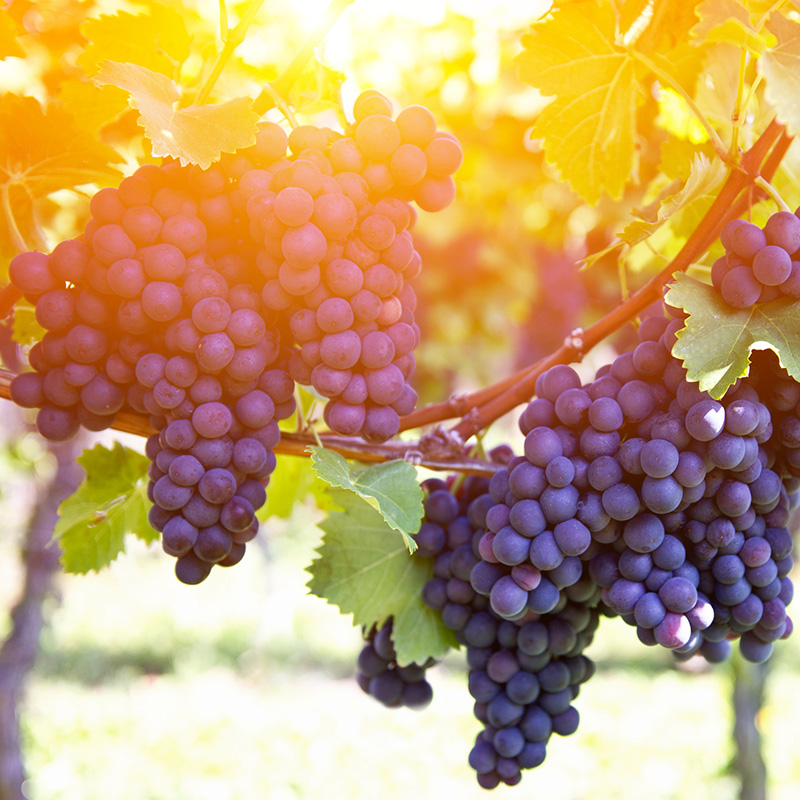 Grapes of Peace