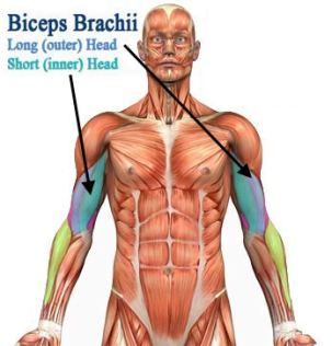Bicep Anatomy for Exercise