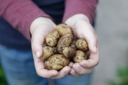 Kartoflerne i spand blev ynkeligt glemt da de først kom ud i drivhuset.. Vi høstede dog lige i nærheden af 500 g - allerede d. 10 maj!