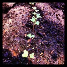 Little broccoli - May 2012