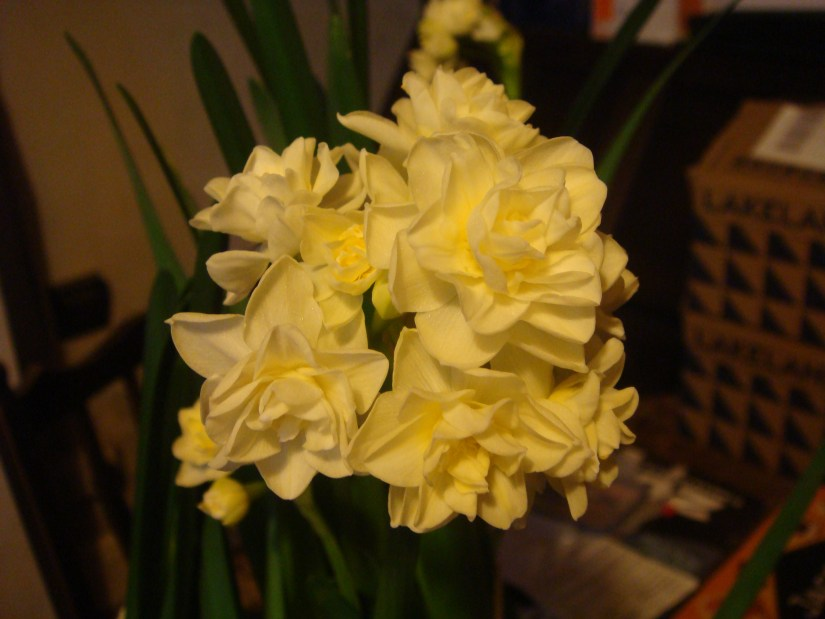 PAPERWHITE_NARCISSI_CHRISTMAS_BULBS