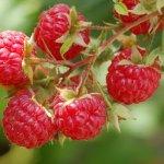 red-raspberry-keytones