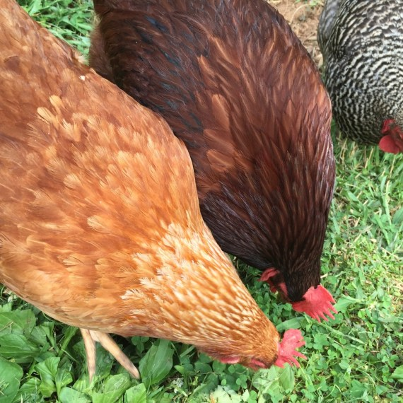 Everything I Need to Know,  I Learned in my First Year of Chicken Keeping