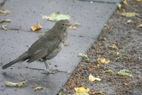 Female blackbird?