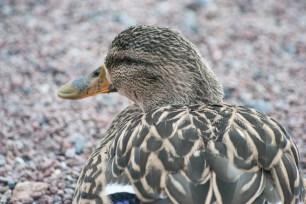 Resting duck.