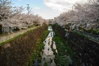 Sakura walk along the canal.