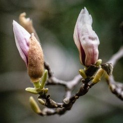 Magnolias in bud