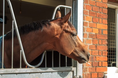 A beautiful horse in a trainer's stable on Newmarket Open day .