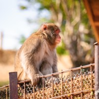 Macaque in Arayashima