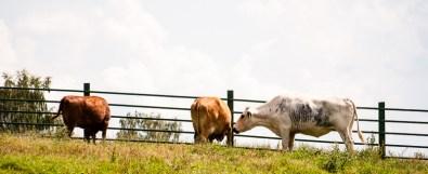 Värmlandskor. / Cows from the province of Värmland.
