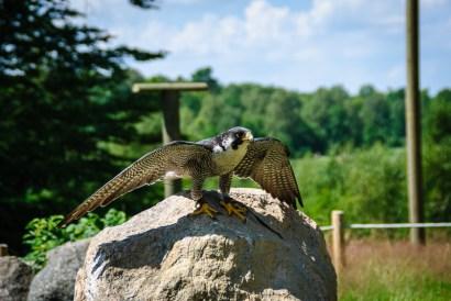 Loa the peregrine falcon at Skånes djurpark.