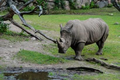 A rhino in Borås zoo.