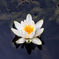 White waterlily  in Viskan