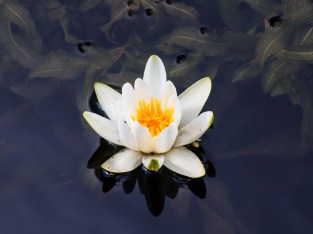 White water lily in river Viskan.