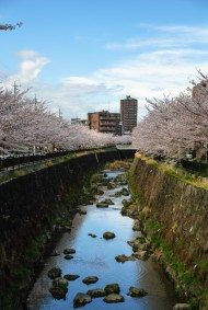 Watching sakura flowers along the Yamazaki river in Nagoya in Japan.