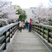Hanami on Sakura-dōri in Nagoya