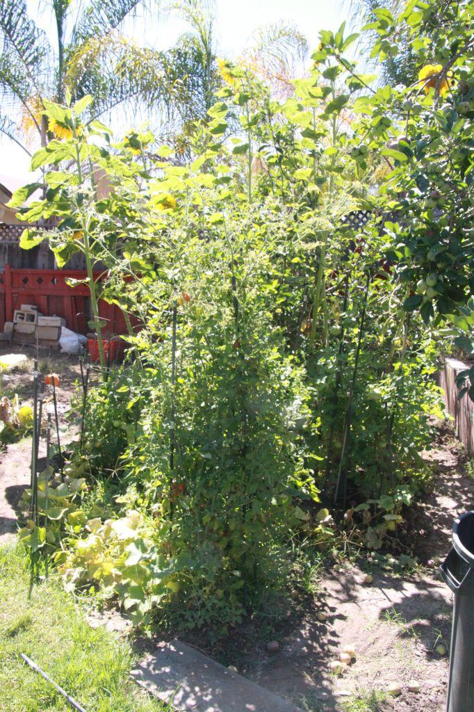 Dad's tomato plants