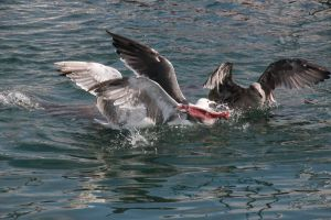 Seagulls fighting over a slab of mostly yellowtail tuna skin with a bit of flesh on it.