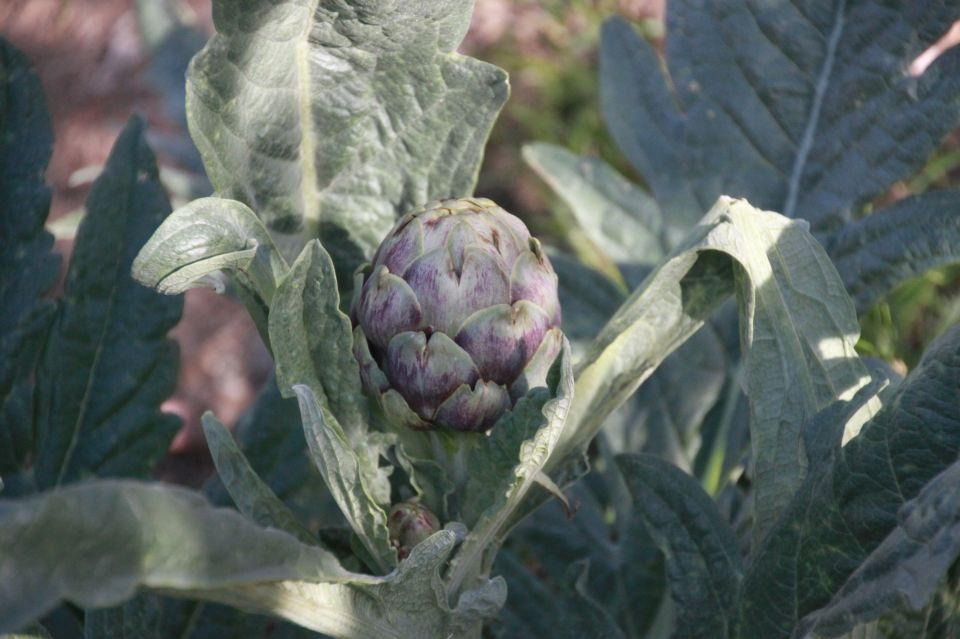 Yep - it's artichoke season!