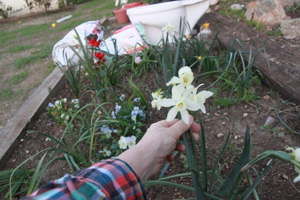 A spider daffodil (?).