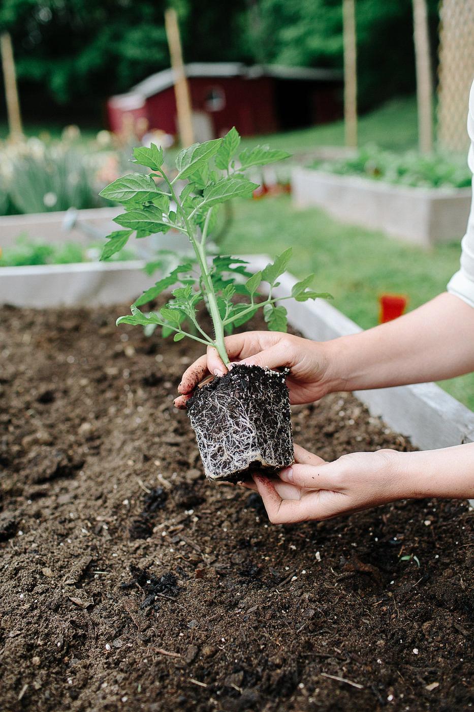 Transplanting Tomatoes for spring garden. Sharing easy vegetable garden tips.