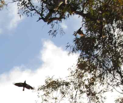 two flying magpies