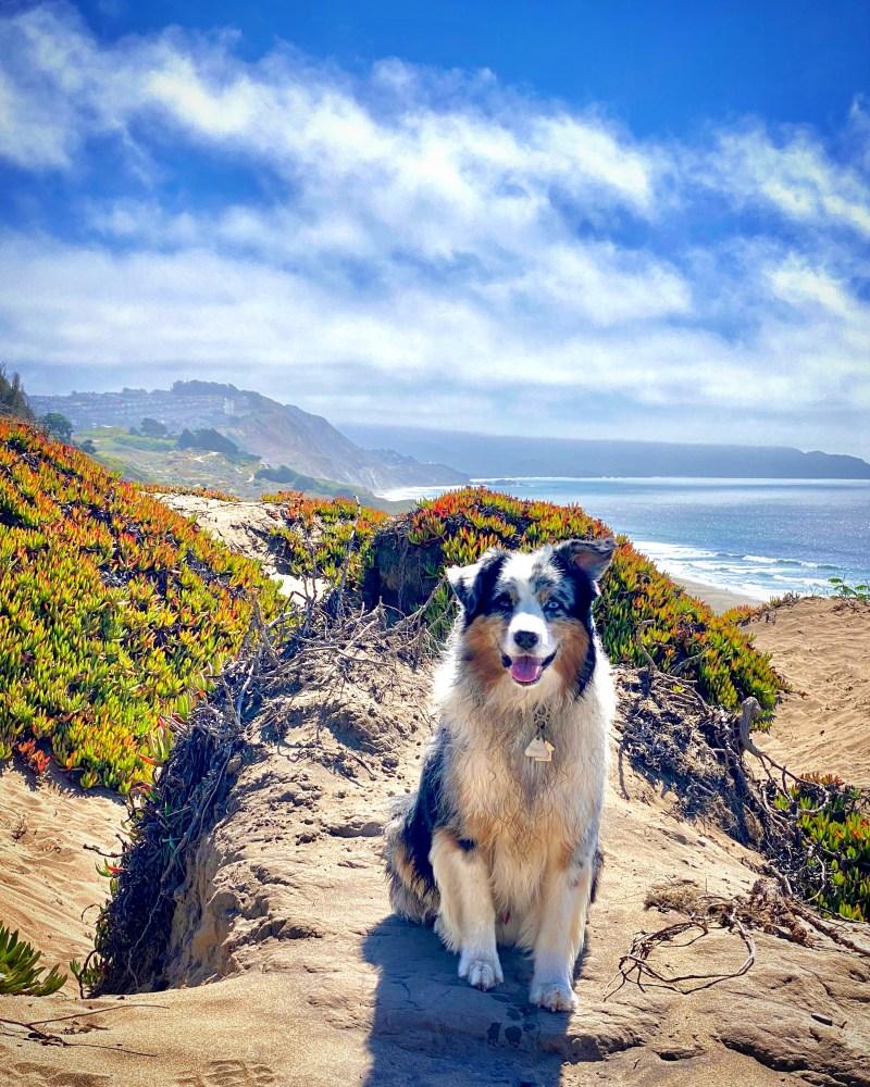 Fort Funston, San Francisco, australian shepherd, blue merle, sand dunes, pacific ocean, beach, west coast