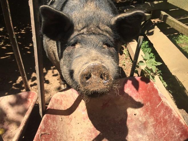 Button Farm Guinea hogs