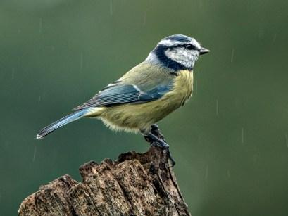 Blue tit in the rain