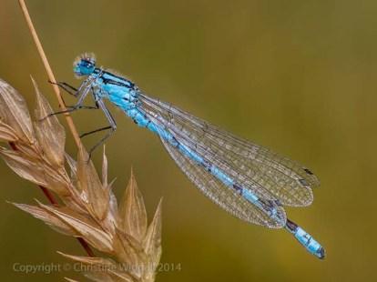 """Male Common Blue Damselfly"""