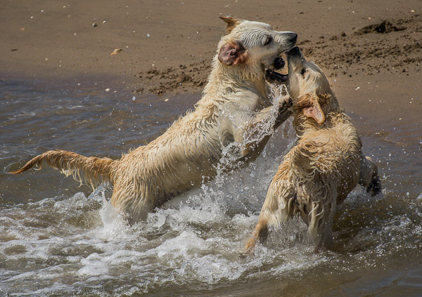 golden retrievers play-fight