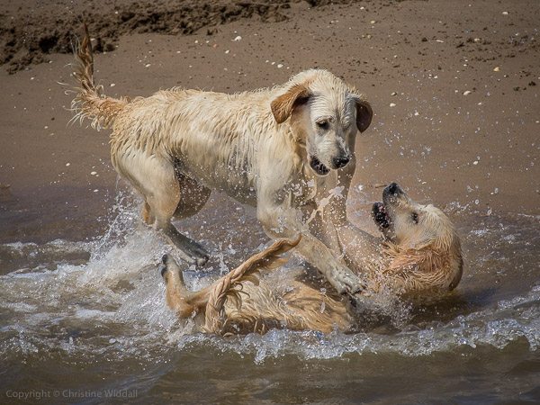 golden retrievers play-fight
