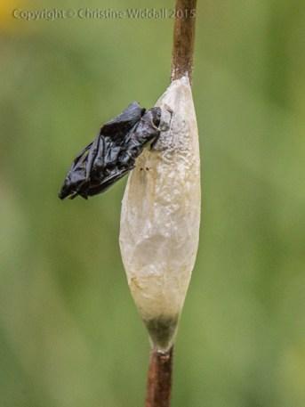 Exuvia - burnet moth