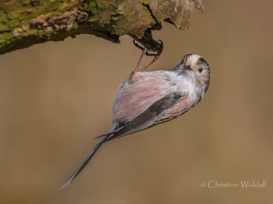 Long Tailed Tit_2137
