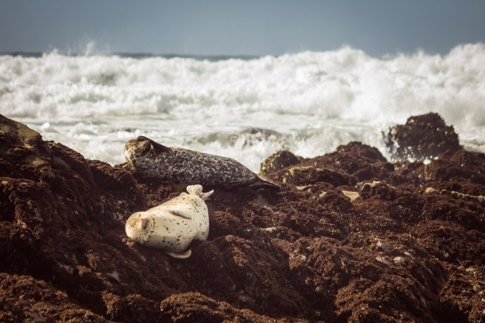 Seals sunbathing off the shore at Moonstone Beach, Cambria, California