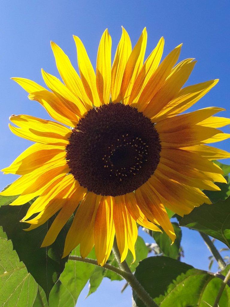 Du meine Sonne