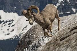 longhorn-966538__180-antelope-mountain-pixabay