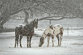 pixabay-horses-in-the-snow