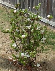Alexander Magnolia tree