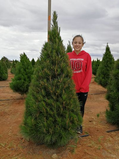 6 foot Christmas tree grade b