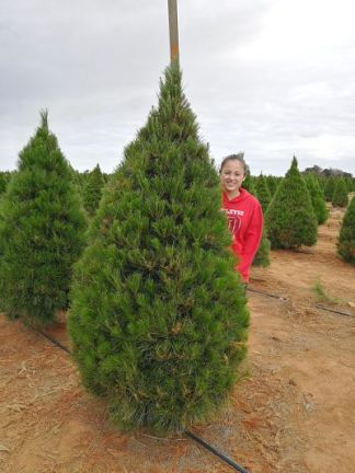 7 foot Christmas tree grade b