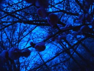 night blossoms2