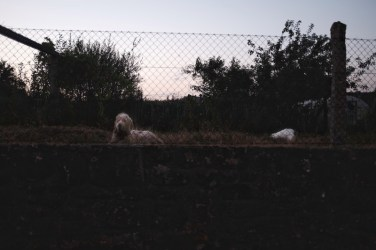 dog behind fence on camino de santiago